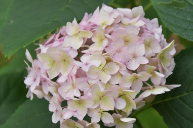 Hydrangea macrophylla Endless Summer Bailmer 2
