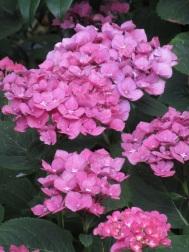 Hydrangea macrophylla Madame Emile Mouillere