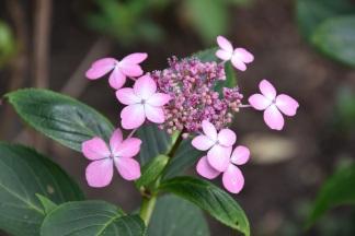 Hydrangea macrophylla Mariesii Lilacina 3