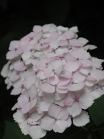 Hydrangea macrophylla Masja