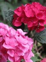 Hydrangea macrophylla Merveille Sanguine (3)
