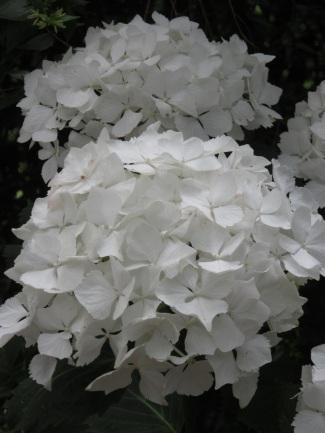 Hydrangea macrophylla Nymphe 1
