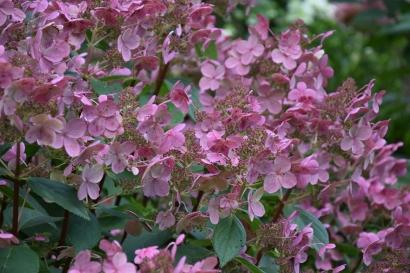 Hydrangea paniculata Early Sensation (2)