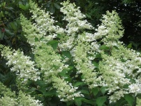 Hydrangea paniculata Grandiflora 1
