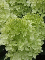 Hydrangea paniculata Phantom 1