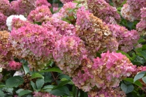 Hydrangea paniculata Vanille Fraise 1