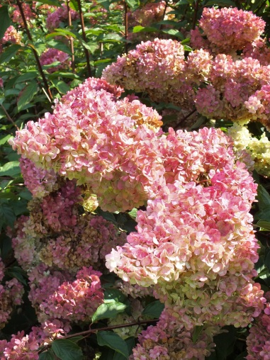 Hydrangea paniculata Vanille Fraise Renhy