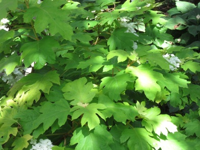 Hydrangea quercifolia gold-leaved