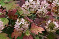 Hydrangea quercifolia oak leaved hydranges