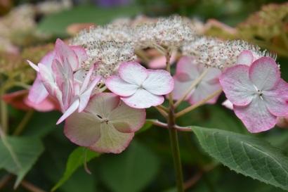 Hydrangea serrata Kiyosumi