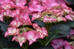 Hydrangea Tiffany Pink