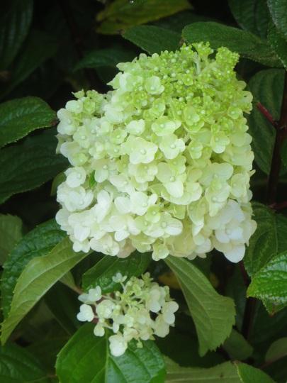 HydrangeapaniculataGrandiflora