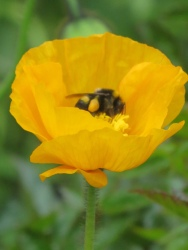 Iceland Poppy Yellow Bee
