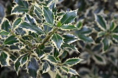 Ilex aquifolium Elegatissima