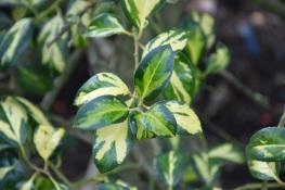 Ilex aquifolium Gold Flash 2