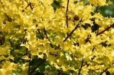 Ilex aquifolium Tromps Gold 1