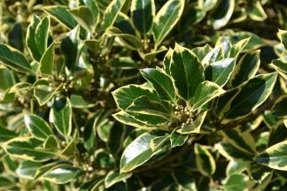 Ilex aquifolium Wareriana