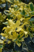 Ilex Golden King