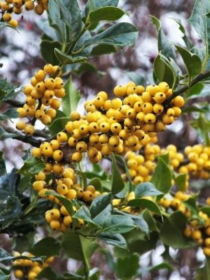 Ilexa quifolium Bacciflava