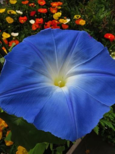Ipomoea Heavenly Blue 1