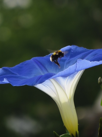 Ipomoea Heavenly Blue