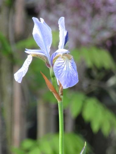 Iris Perrys Blue