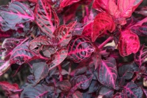 Irisine herbstii Brilliantissima