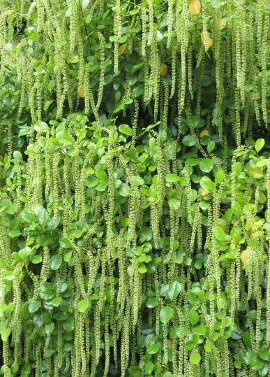 Iteai licifolia 1