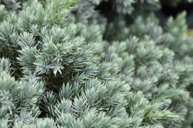 Juniperus squamata Blue Star 4