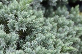 Juniperus squamata Blue Star 4