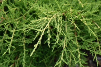 Juniperus x media Old Gold