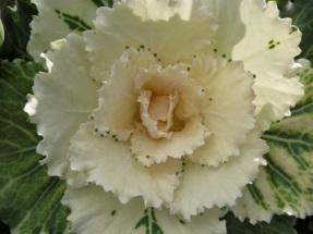 Kale ornamental1
