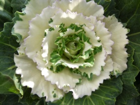 Kale ornamental2