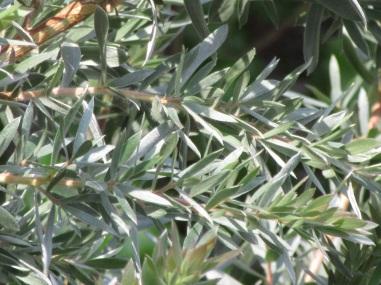 Leptospermum Silver Sheen