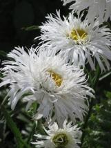 Leucanthemon Aglaia