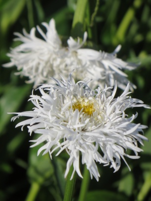 LeucanthemumAglaia