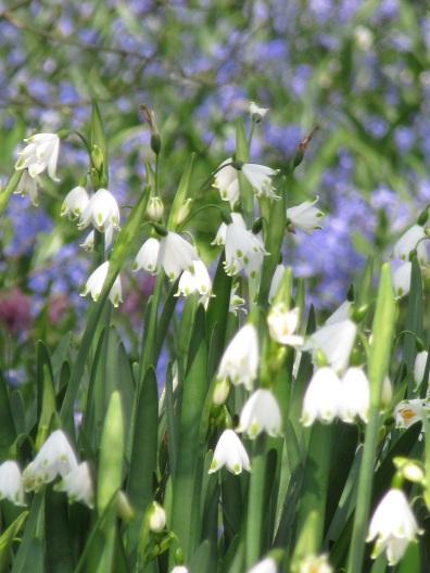 leucojum white against blue scilla spring