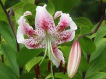 Lilium speciosum var speciosum