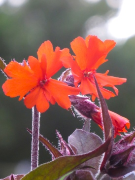 Lychnis haageana Lengai Orange