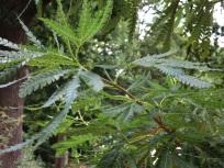 Lyonothamnus floribundus subsp aspleniifolius