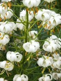 Martagon Lily White closer