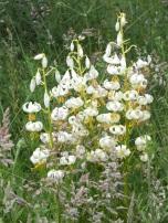 Martagon Lily white