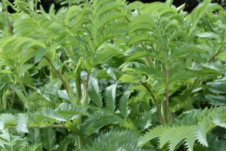 Melianthus major 2