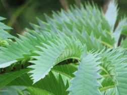 Melianthus major (3)