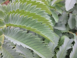 Melianthus major 3