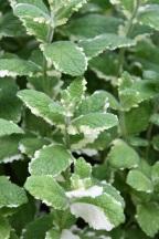 Mentha x suaveolens Variegata Pineapple Mint