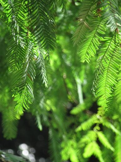 Metasequoia glyptostroboides 1