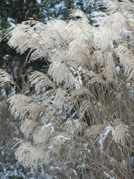 Miscanthus snow