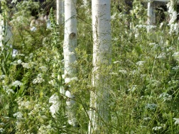 Mixed herbaceous white Birch Betula Chelsea 2014