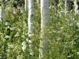 Mixed herbaceous white Birch Betula Chelsea 2014